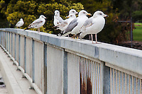 A group of gulls is called a gullery, as well as a screech or a flotilla.  Tentative IDs - The first three, from right/close to left/far:  juvenile Ring-billed gull, California gull, adult Ring-billed gull.