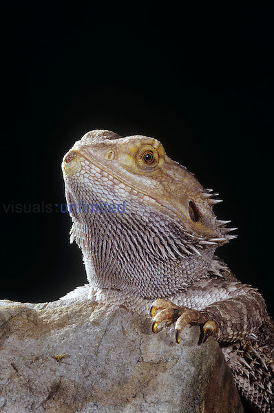 Eastern Bearded Dragon (Pogona barbata).