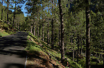 Walking in the forest, Cumbre Nueva, La Palma, Canary Islands.