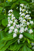 Blossom of Horse-Chestnut tree, Aesculus hippocastanum, in Southrop in the Cotswolds, UK