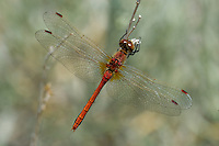 362700042 a wild male band-winged meadowhawk sympetrum semicintum perches on a flowering plant in mono county california