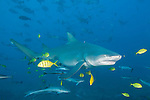Beqa Lagoon, Pacific Harbor, Fiji; a Sicklefin Lemon Shark, accompanied by juvenile Golden Trevally, swimming amongst the reef fish which congregate for the shark feeding dive