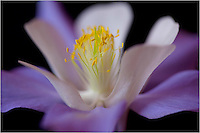 This image is a macro view of the Columbine, the Colorado state flower.