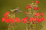 female ruby throated hummingbird on Royal Catchfly