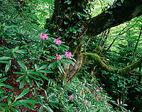 Georgia, Borjomi Kharagauli National Park, flowering Rhododendron, old growth forest (Rhododendron sp.)
