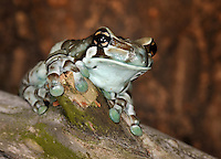 Amazon Milk Frog (Phrynohyas resinifictrix), captive.