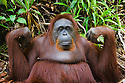 Old female orangutan, portrait, (Pongo pygmaeus), endangered species due to loss of habitat, spread of oil palm plantations, Tanjung Puting National Park, Borneo, East Kalimantan,