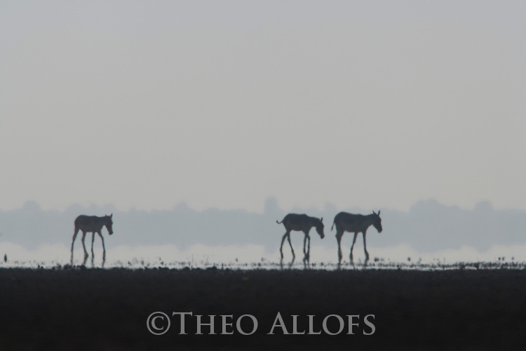 Indian wild asses (Equus hemionus khur) crossing vast dry clay pan in mid day heat; pan is flooded during monsoon<br /> The Indian wild ass's range once extended from western India, through Sind and Baluchistan, Afghanistan, and south-eastern Iran. Today, its last refuge lies in the little Rann of Kutch and its surrounding areas of the Greater Rann of Kutch in the Gujarat province.