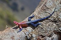 Spider-man Agama (Agama mwanzae)