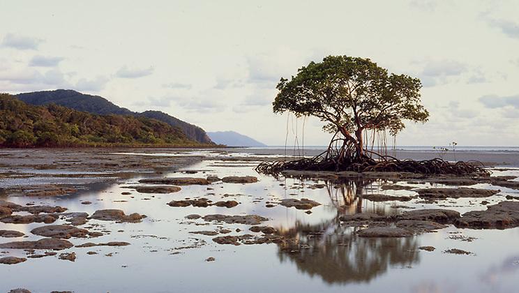 Mangrove Tree &amp; Shore,<br /> Daintree NP<br /> FNQ
