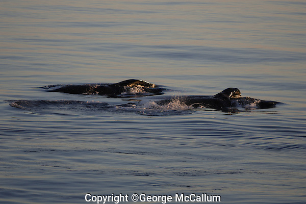 Humpback whales Megaptera novaeangliae lunge feeding on the Surface at sunset. 82N Kvitoya, Arctic Ocean