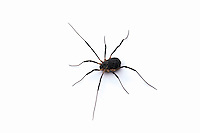 Harvestman (Eumesosoma), Texas, USA