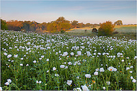 White Poppies are found in abundance in the springtime Texas Hill Country. These Texas wildflowers add splash of white to most any field.