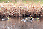 A small group of Canadian Geese, some tagged with yellow tracking collars around thier necks