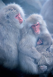 A Japanese macaque or snow monkey family embraces in Jigokudani National Park, Japan.