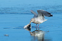 540053001 a wild herring gull larus arentatus feeds on a dead shorebird in a lake at klamath national wildlife refuge in northern california