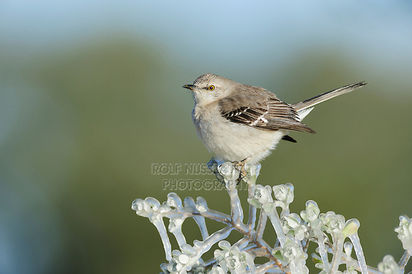 Northern mockingbird mimus polyglottos adult perched on ice covered