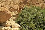 T-155 Salvadora Persica tree (Toothbrush tree, Mustard tree) in Nahal salvadora