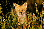 Red fox, Assateague National Wildlife Refuge, Virginia