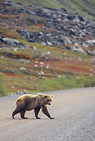 Grizzly bear crosses the James Dalton Highway (Haul Road) Alaska's Arctic north slope.