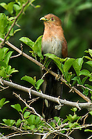 513530021 a wild squirrel cuckoo piaya cayona sits in low brush in northeastern tamaulipas state mexico
