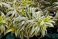 Dracaena reflexa 'Song of India' aka Pleomele, variegated palm-like plant, tropical tree Madagascar native, Malaysian Dracaena, Small-leaved Dragon Tree, houseplant