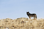 Lone wolf stands on a hill in Yellowstone National Park, Wyoming.