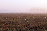 Early-morning fog in a sawgrass meadow full of spider webs in Everglades National Park, Florida.