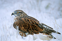 541800012 a wild wildlife rescue ferruginous hawk buteo regalis poses in a snow bank in central colorado united states