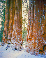 Sequoia images in snow, Sequoia National park, California, Sierra Nevada Mountains, World's largest trees