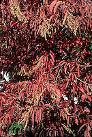 Sourwood tree in fall foliage Oxydendrum arboreum in autumn color