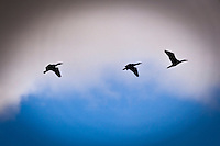 Three cormorants in silhouette flying against a mixed background of dark rain clouds and blue sky over the Bay Island Bridge along San Francisco Bay.