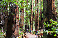 Path through the redwood Trees, Sequoia sempervirens, in Muir Woods