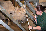 Jo Roe of Colchester Zoo target training a white rhino (Ceratotherium simum) for a special research project on rhino feet by Royal Veterinary College Professor John Hutchinson, May 2012, UK