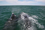 gray whales, calf and cow, Pacific Ocean