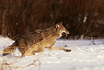 Running gray wolf, Montana