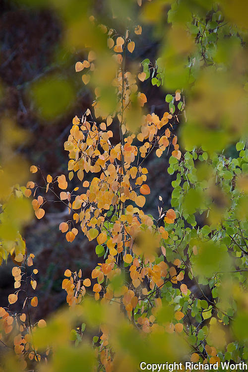 A cluster of orange leaves are glimpsed through a frame of green leaves.
