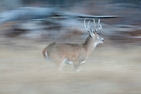 Whitetail deer (Odocoileus virginianus) buck running