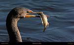 Cormorant with Prey Double-crested Cormorant Sanibel Island Florida Close Portrait