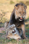Lions mating, Panthera leo, Kgalagadi Tranfrontier Park, South Africa