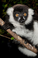 Black-and-white Ruffed Lemur (Varecia variegata) sitting in trees, Masai Mara National Reserve, Kenya.