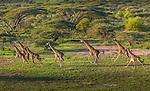 Masai giraffes running, Serengeti National Park, Tanzania