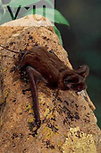 A Big Free Tailed Bat. (Nyctinomops macrotis) Chiricahua Mountains, Arizona