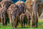African elephants are highly intelligent and have a wide variety of behaviors. Herds are made up primarily of females and juveniles, as the males move from herd to herd searching for mates. Amboseli National Park, Kenya