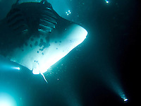 The gills and underbelly of a manta ray while it feeds at night are illuminated by scuba divers' flashlights, Big Island.