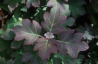 Hydrangea quercifolia Oak-leaf Hydrangea closeup of serveral leaves in autumn