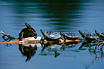 Reflected in the almost still water, painted turtles perch together on a branch floating in a pond in Montana.