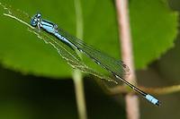 Slender Bluet (Enallagma traviatum) Damselfly - Male, Cranberry Lake Preserve, Westchester County, New York
