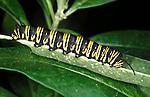 Caterpillar of Monarch butterfly (Danaus plexippus) larvae striped metamorphosis lifecycle warning colours poisonous.USA....