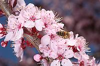 A bee forage a pulm flower.